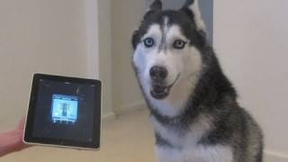 Husky Dog Sings With iPad - Better Than Bieber!