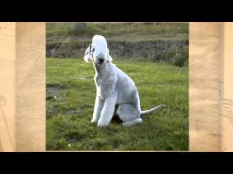 Raza Bedlington Terrier – Como Adiestrar Perros de Raza Bedlington Terrier