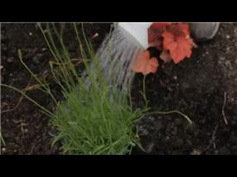 Flower Gardening : How to Care for & Garden a Lavender Plant