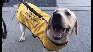 LIVE: Guide Dog Works on Obedience OUTSIDE | The Dodo
