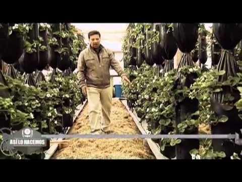 Cultivo tubular de Fresas