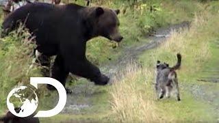 Video Dogs vs Grizzly Bears - Weird, True & Freaky MP3, 3GP, MP4, WEBM, AVI, FLV Agustus 2017