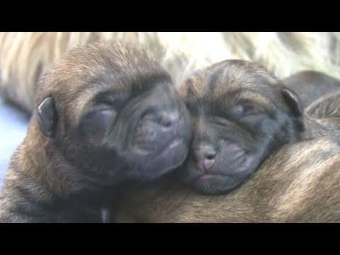 Cairn Terrier's 3rd Puppy Birth (in HD)