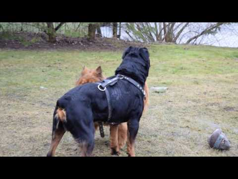 rottweiler vs chow chow mix