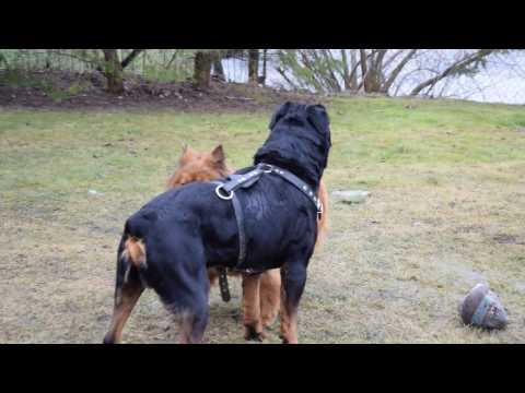 rottweiler vs chow chow mix
