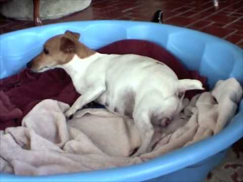 Jack Russell gives birth