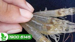 Thủy sản | Biện pháp chống lại bệnh Vibrio cho tôm