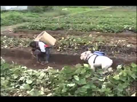 Đười Ươi và chó đi đào Khoai Lang cực dễ thương