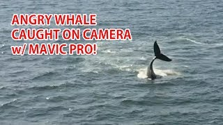 NEVER SEEN BEFORE, CRAZY ANGRY WHALE CAUGHT ON CAMERA IN 4K WITH MY MAVIC PRO!!!  This is an INCREDIBLE footage of CONTINUOUS whale tail slappin' NEVER SEEN BEFORE!Get the Mavic Pro here so you can get footage like this:http://hoalove.com/getmavicproHere's the exact GPS coordinates:Starting point: 37.6659, -122.4949Whale spotting: 37.6755, -122.5165This was taken 1.35 miles off coast in Pacifica/Daly City, California where I live.This is a humpback whale.  Every year around May to June humpback whales migrate through California coast and hundreds of whales can be seen blowing air.  However, actually getting close-up footage of whales with a drone is nearly impossible as they only come up to the surface every 5 minutes.  The only way you can get footage is when they come up to the surface to feed, which isn't too often.  In this footage, I got really lucky as the angry whale came up to surface for about 10 minutes and continuously slapped his tail before disappearing into the deep ocean.You can also check out humpback whales I filmed last year with the Phantom 4 here:https://www.youtube.com/watch?v=vdHqyNZ__wUIf you would like to use this footage in your video, please contact me at zedomax@gmail dot com for licensing.-----------------------------------------Other Cool Android Videos you MUST check out:Best $20 I spent on a Car Charger:https://www.youtube.com/watch?v=SC_Grd18zbEJoin the HighOnAndroid VIP Fans List for free help from Max and discounts on Android accessories:http://highonandroid.com/newsletter.phpYouTube Audio Library Credits:Sway This WayDanse Macabre by Kevin MacLeod is licensed under a Creative Commons Attribution license (https://creativecommons.org/licenses/by/4.0/)Source: http://incompetech.com/music/royalty-free/index.html?collection=005Artist: http://incompetech.com/