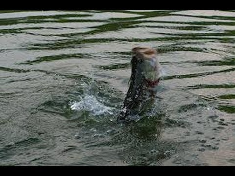 Summer Bass Fishing With Crank baits and Chigger Craws