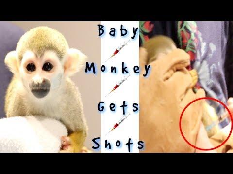 Baby Monkey Vet Visit & Vaccination #babysquirrelmonkey #babymonkey