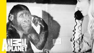 Animal Bites with Dave Salmoni: A Tribute to Koko the Gorilla by Animal Planet