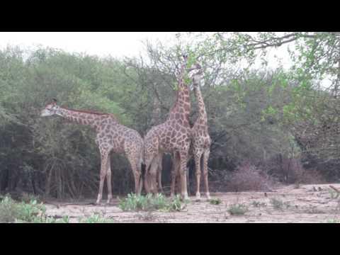 Two male giraffe fighting over female (видео)