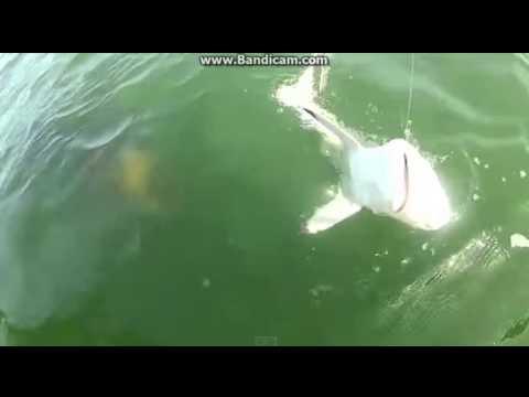 Co to k*rwa było?! Kamera uchwyciła jak olbrzymia kreatura zjada rekina!
