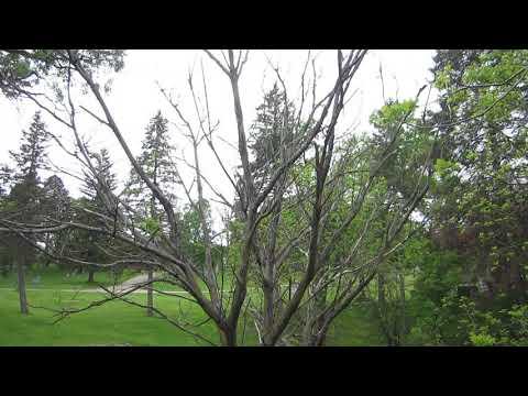 Butternut tree succumbs to butternut canker  May 20 2018