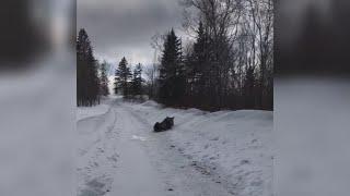 Moose charges Maine man in Van Buren