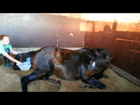 Video Jainnie giving birth to Sequalo foal. download in MP3, 3GP, MP4, WEBM, AVI, FLV January 2017