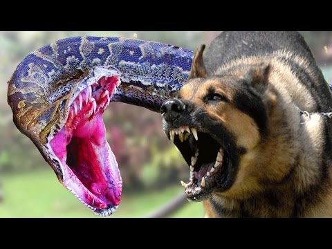 Dogs vs Snake - Fight Real Dogs and Snake