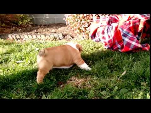 Rocky - 78th Bulldog