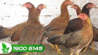 Chăn nuôi gà | Gà bị bệnh Newcastle