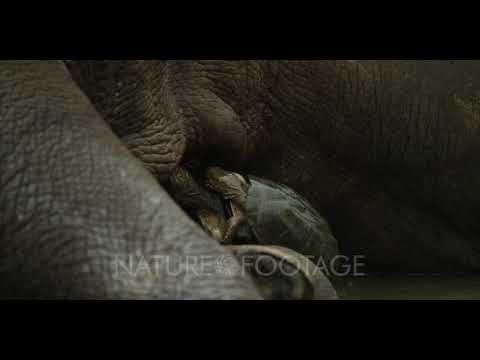White Rhino lying in water - turtles eating ticks off leg, close shot