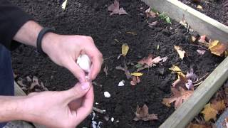 How to Grow Garlic In Spring or Fall - Complete Growing Guide