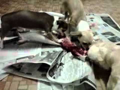 Chihuahua Pack Eating Raw Deer Neck Part 2
