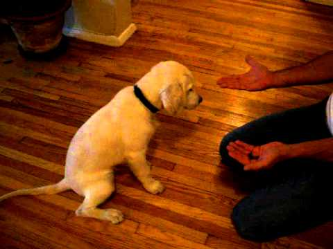 puppy tricks (3 and a half month old golden retriever)