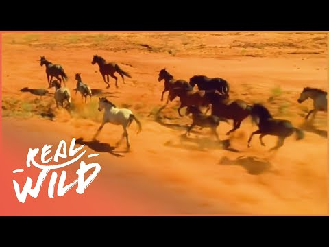The Life Of Wild Horses   Horse: In The Wild   Real Wild