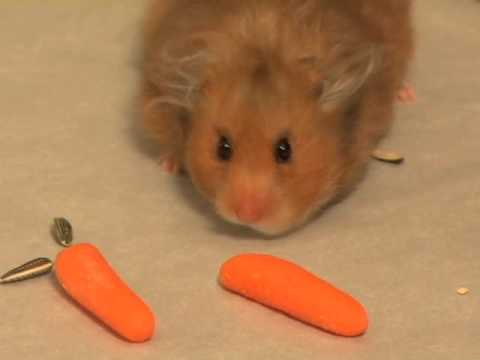 hamster - Smoke - my hamster- stuffing her little cheeks with yummies for a late night snack. She is a syrian hamster and we made this video when she was one year old....