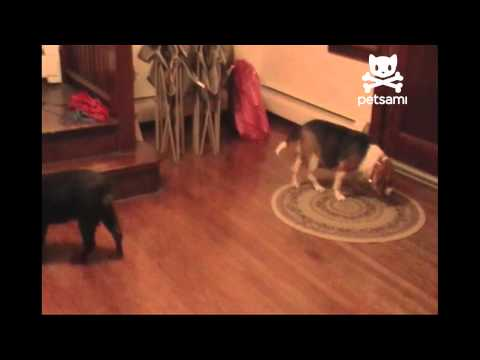 distract - A dog wants to play with his favorite chew toy! Only problem is that his friend is already playing with it. What does he do? He throws a ball across the room...