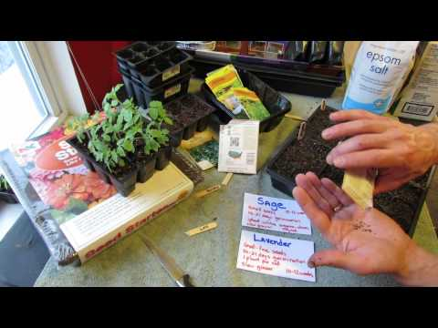 how to grow english lavender from seed