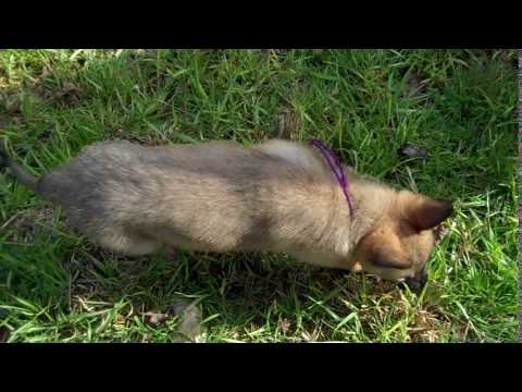 Kiaras Miss Orchid Silver Fawn Female Puppy