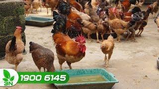 Chăn nuôi | Tỷ lệ gà trống mái như thế nào cho gà để đạt tỷ lệ trứng cao nhất?