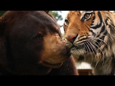 The lion, tiger and bear family – Animal Odd Couples: Episode 1 Preview – BBC One