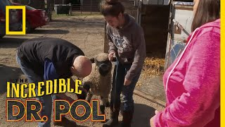 A Lamb With a Major Pain | The Incredible Dr. Pol by Nat Geo WILD