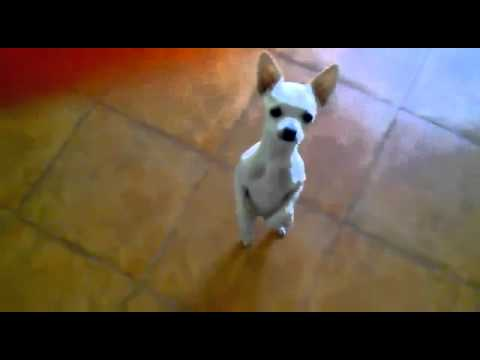 Bild: Video: Tanzender Salsa Hund