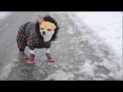 First snow- Jacky the chihuahua(26 october 2012)