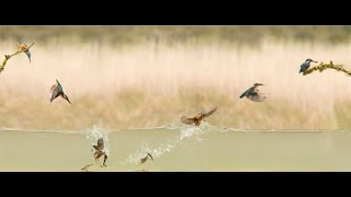 Dream Shots: Kingfisher Dynamics