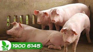 Chăn nuôi lợn | Lợn mắc phó thương hàn ghép cầu trùng: Biểu hiện và cách chữa
