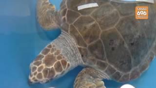 portici-nasce-il-centro-tartarughe-marine