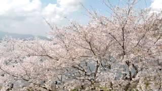 空撮 / 河口湖の桜