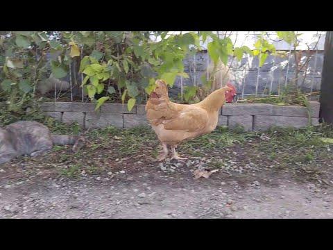 Huhn stiehlt Maus