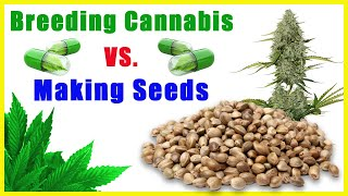 WHAT IS CONSIDERED CANNABIS BREEDING? by The Cannabis Connoisseur Connection 420