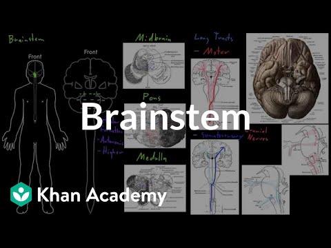 brain stem in a sentence