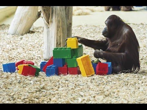 Orangutan Playing with Lego