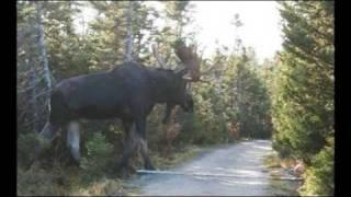 Video A Giant......Moose? MP3, 3GP, MP4, WEBM, AVI, FLV November 2017