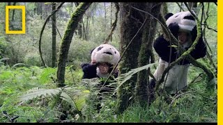 Pandas: The Journey Home Trailer | National Geographic