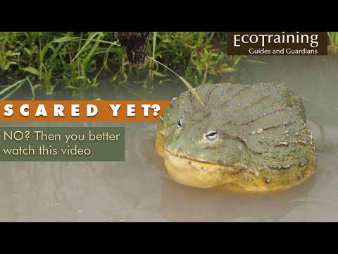 Bullfrog scare