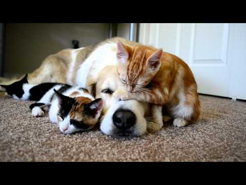 Cuteness - My dog Murkin loves his kittens! Super cuteness overload! Filmed with a nikon D3100*. For more videos, check out our youtube channel, or find Murkin on Faceb...